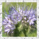 Phacelia Honey
